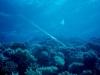 oaltun_cornetfish