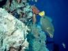 oaltun_quenn_triggerfish